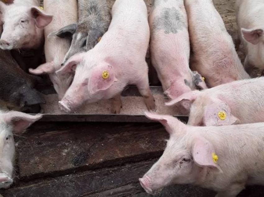 Учения по ликвидации особо опасной болезни свиней пройдут в начале октября в Забайкалье