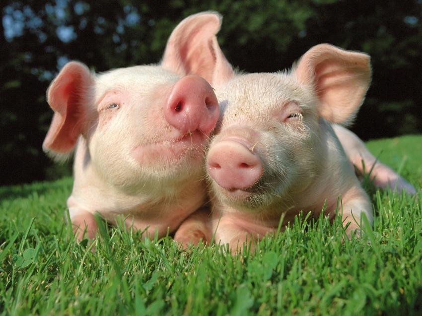 Карантин по африканской чуме свиней отменен в Забайкалье