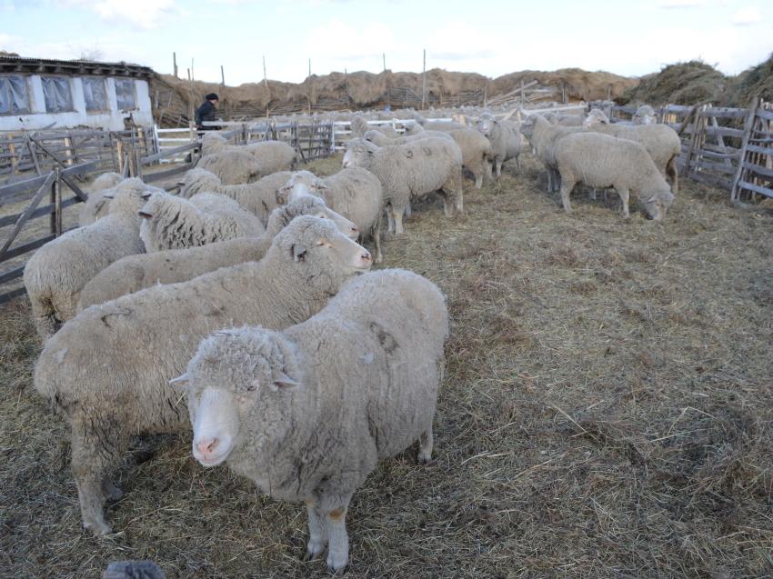 Забайкальские специалисты провели курсы по искусственному осеменению овец для коллег из Воронежа