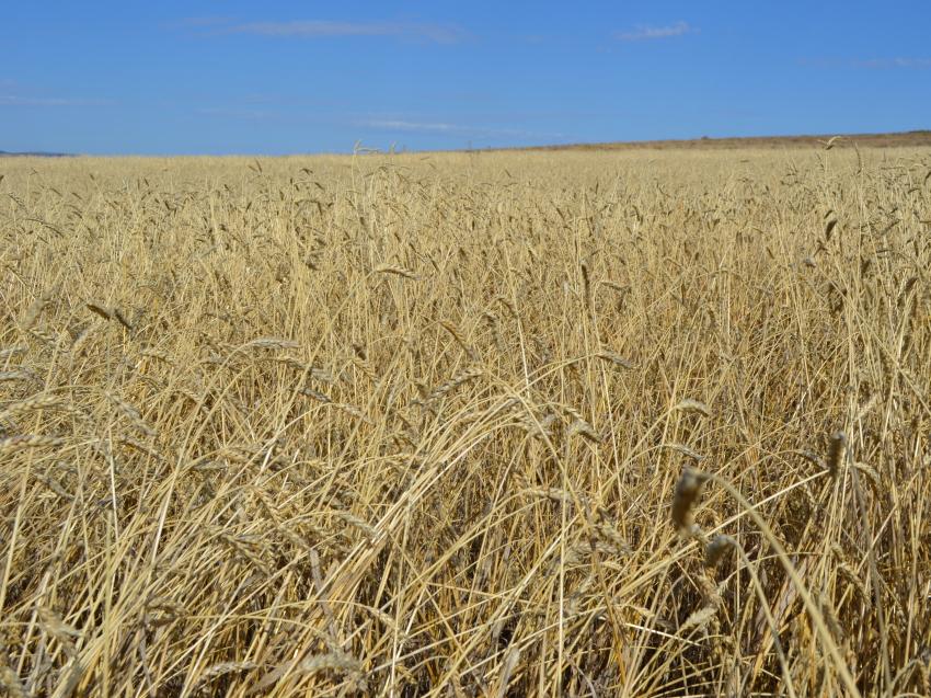 Полмиллиарда рублей господдержки выплатили аграриям Забайкалья с начала года