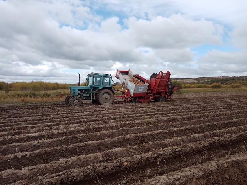 Сельхозкооператив в Забайкалье собирает до 300 центнеров картофеля с гектара