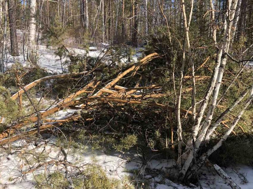 Случаи незаконной рубки выявили в шести районах Забайкальского края