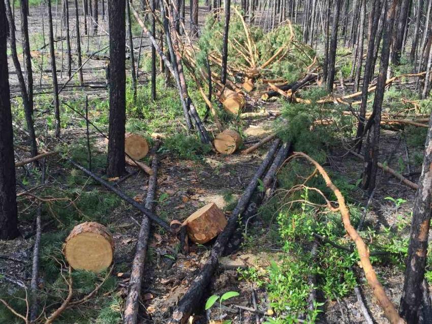 В Забайкалье выявлено 33 случая незаконной рубки леса