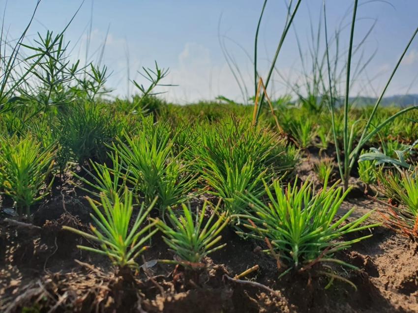 В Петровск-Забайкальском районе возродили питомник – выращивается два миллиона саженцев сосны