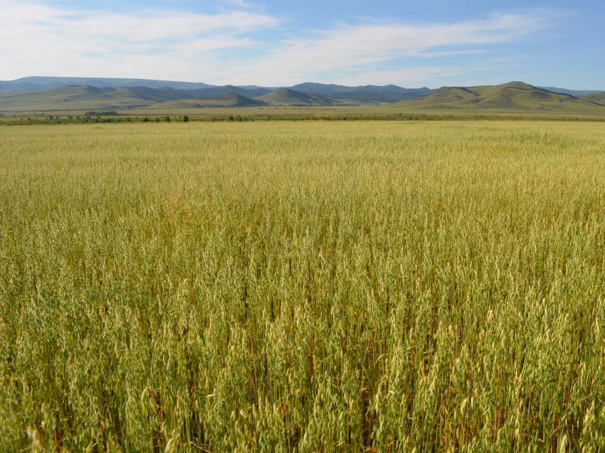 Аграрии Забайкалья обработают против сорняков 126 тысяч гектаров сельхозугодий