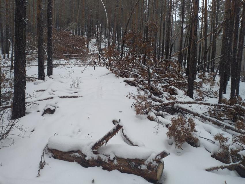 В Забайкалье выявили 49 случаев незаконной рубки