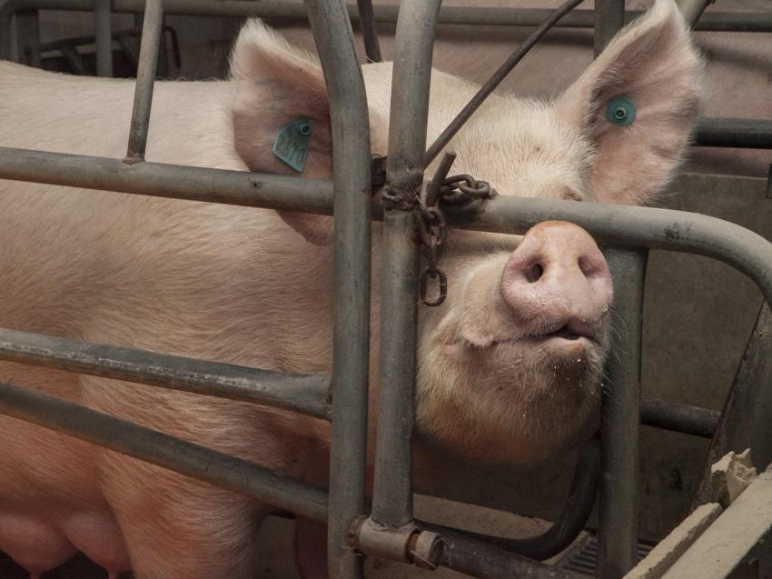 На территории Читы выявлена африканская чума свиней, готовятся мероприятия по ее ликвидации