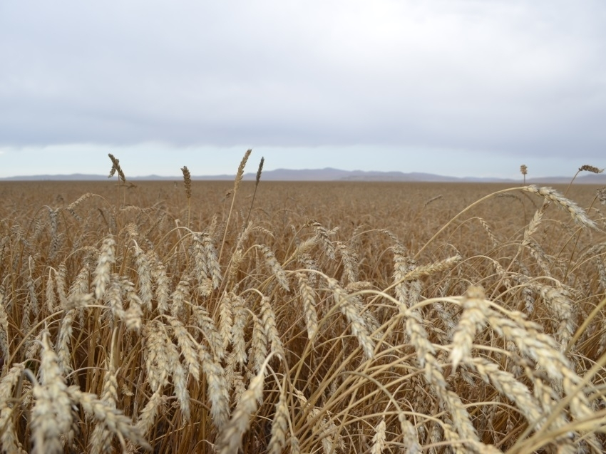 Посевная площадь в Забайкалье вырастет на 8%