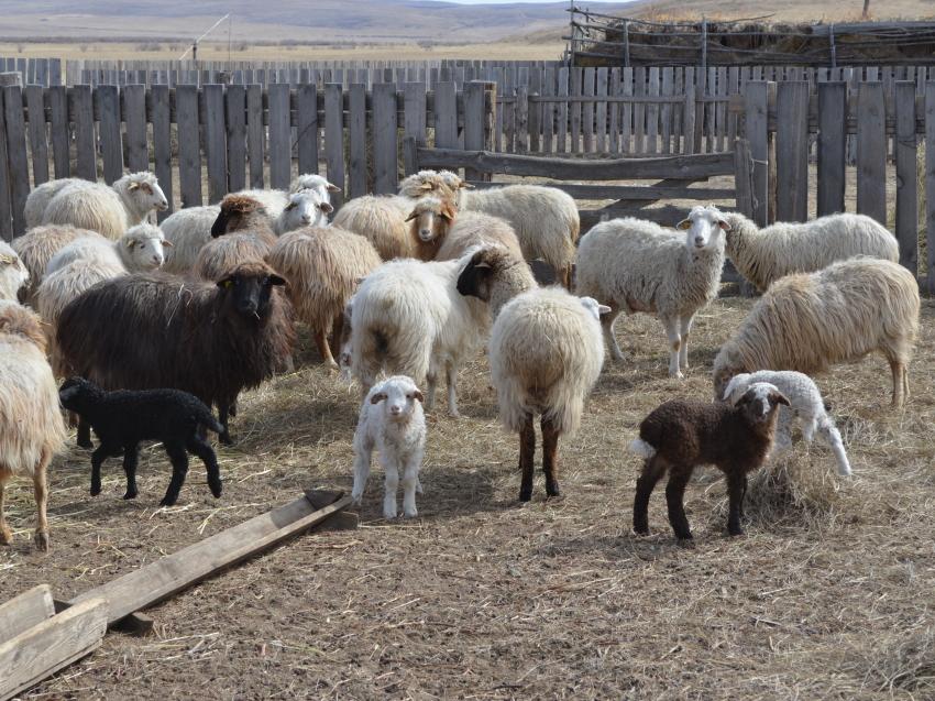 Овцеводы Забайкалья получили 136 тысяч ягнят по итогам расплодной кампании