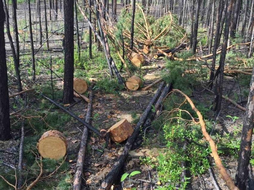Два случая незаконной рубки выявили за неделю в Забайкалье