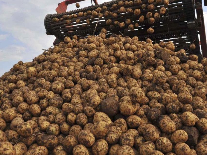 Аграрии региона получили более 10 тыс. тонн картофеля, что превышает уровень 2018 года на 16 %