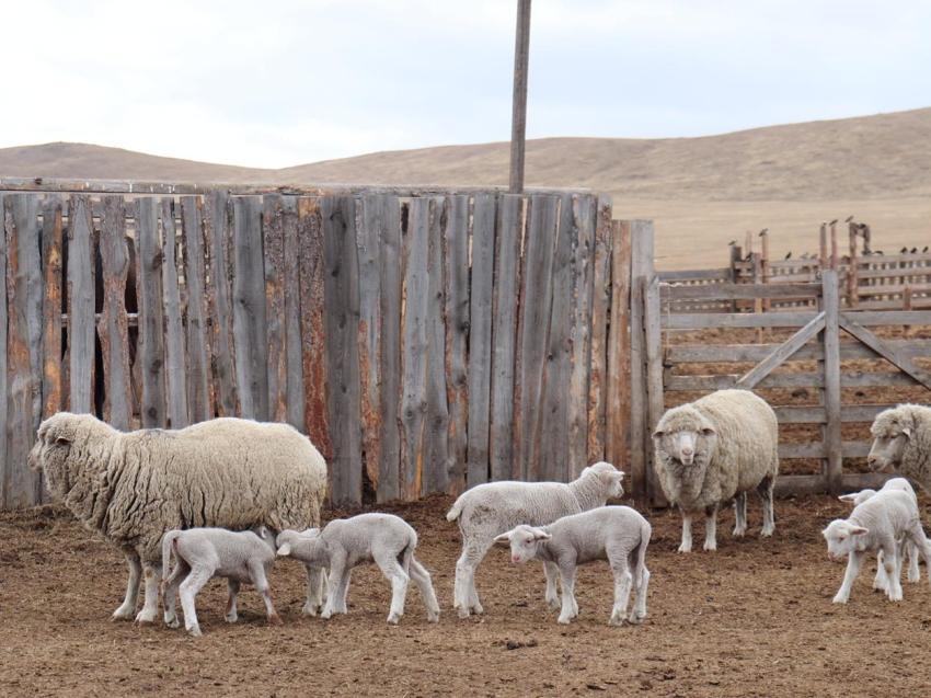 Итоговая информация по стрижке овец в хозяйствах Могойтуйского района