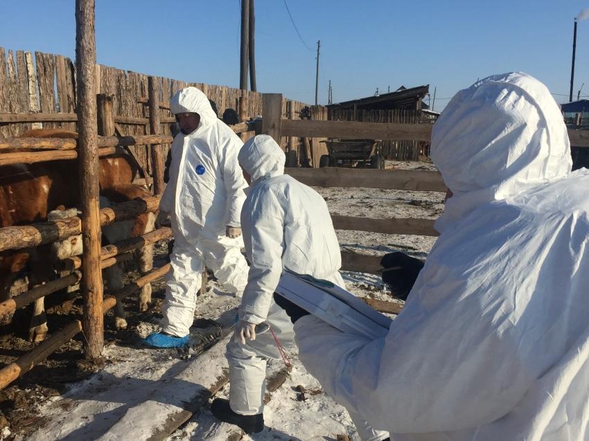Ликвидация очагов заболевания животных ящуром в Приаргунском районе на 02.02.2020 год.