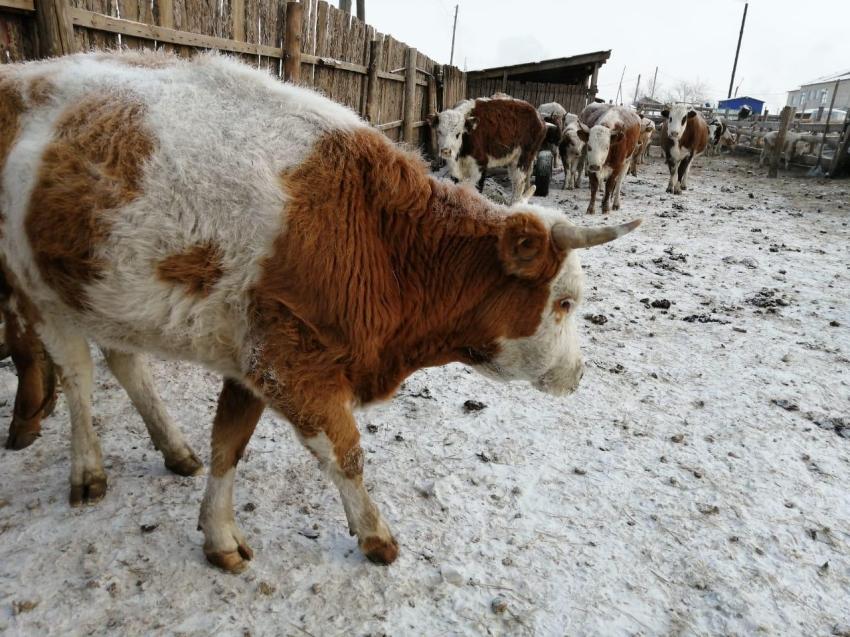 Ликвидация очагов заболевания животных ящуром в Приаргунском районе на 03.02.2020 год.