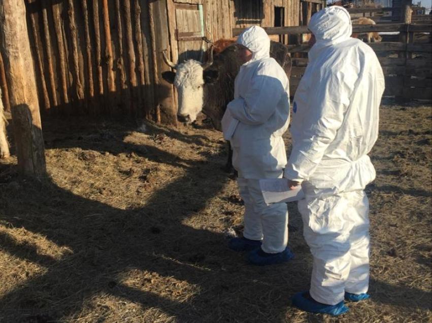 Ликвидация очагов заболевания животных ящуром в Приаргунском районе на 09.02.2020 год.