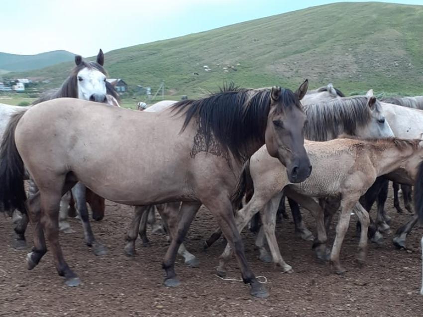 Лошади с крыльями на спине обнаружены в Забайкалье