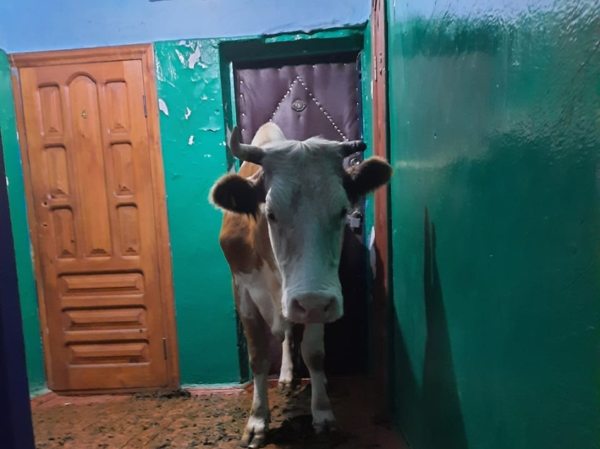 Ветврачи вывели корову со второго этажа жилого дома в Балее