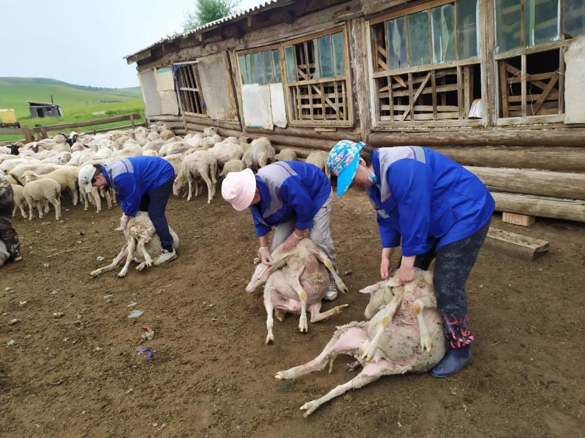 Агинская ветлаборатория исследует 20 тысяч овец до наступления случной компании