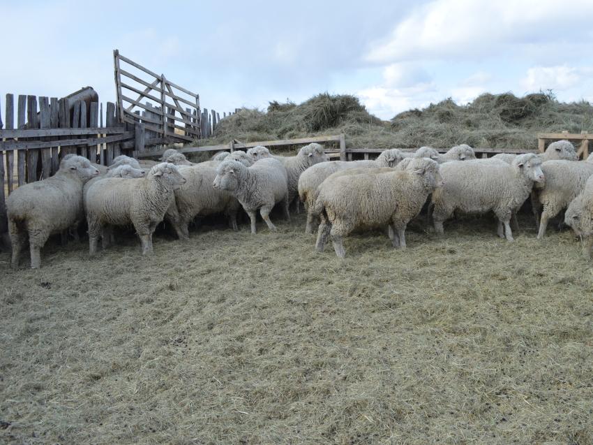 В овцеводческих хозяйствах Забайкалья началась случная кампания