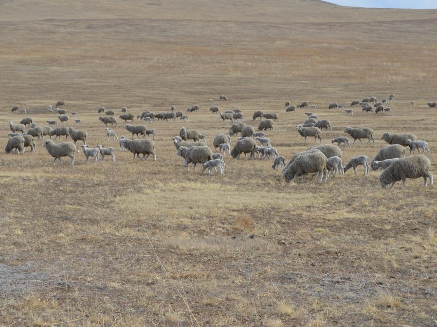 Минсельхоз РФ поставил задачу усилить селекционно-племенную работу в овцеводстве