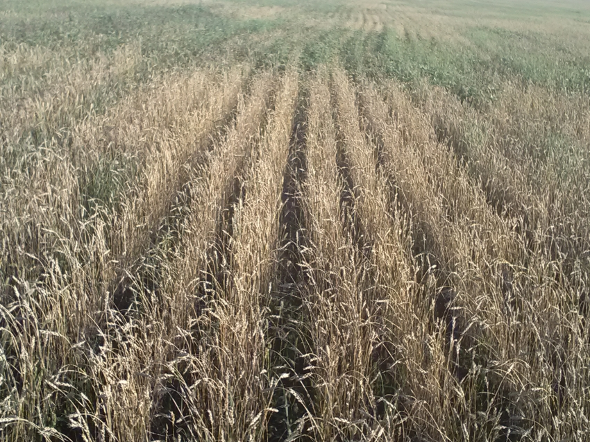 Пострадавшим в результате засухи аграриям выплатят компенсацию до конца года