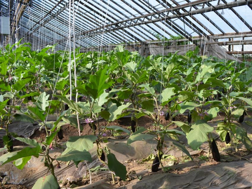 Более 560 тонн овощей произвели хозяйства Забайкалья