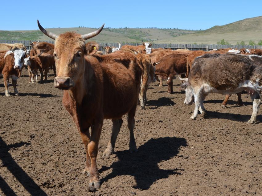 Производство продукции животноводства в Забайкалье выросло за полгода на 1,2 %