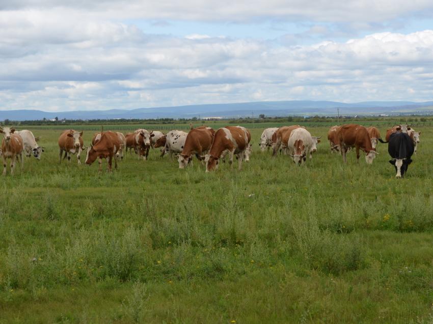 Вопросы поддержки молочного предприятия в Сивяково обсудят в краевом минсельхозе