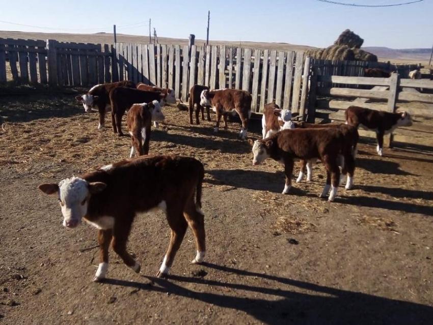 Искусственное осеменение коров в Забайкалье за год выросло на 106%