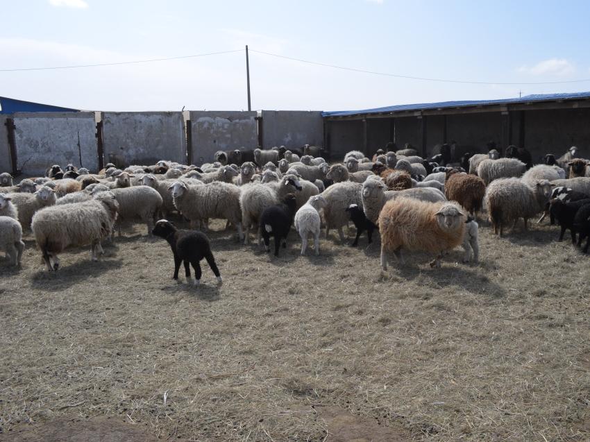 Более 142 тысяч овец подготовлено в хозяйствах Забайкалья для получения приплода