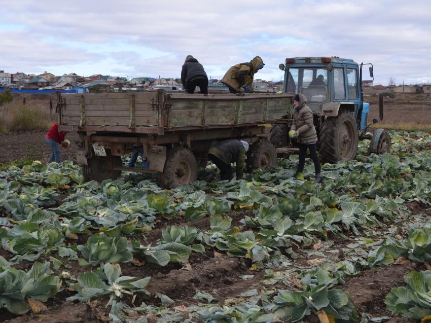 Урожай овощей в Забайкалье в два раза превысил показатели 2019 года