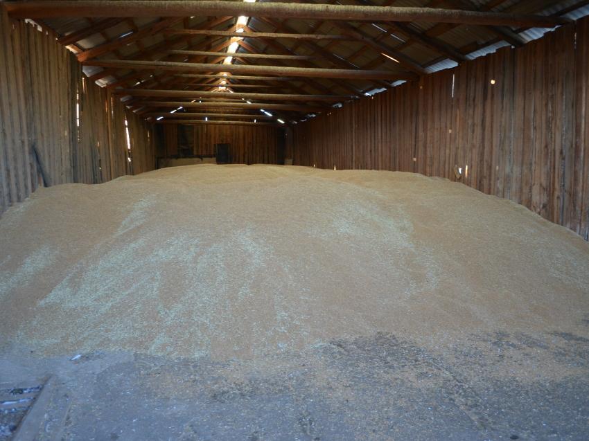 Агинские аграрии по итогам уборочной кампании получили 12,5 тысячи тонн зерна