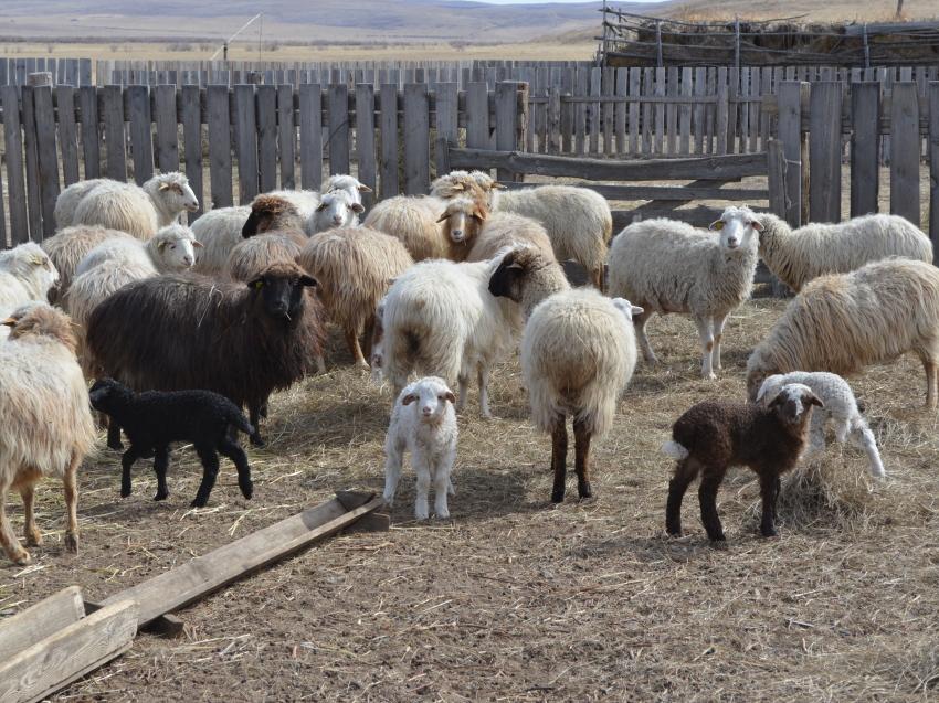 Более 18 тысяч ягнят получили овцеводы Забайкалья в ходе текущей окотной кампании