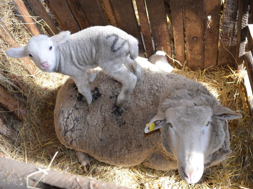 Расплодная кампания в овцеводстве Забайкалья завершилась в четырех районах