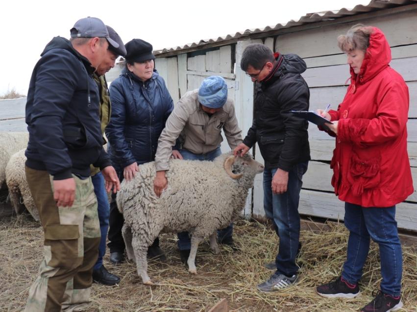 Эксперты высоко оценили подготовку овцеводческих хозяйств Забайкалья к выставке в Улан-Удэ