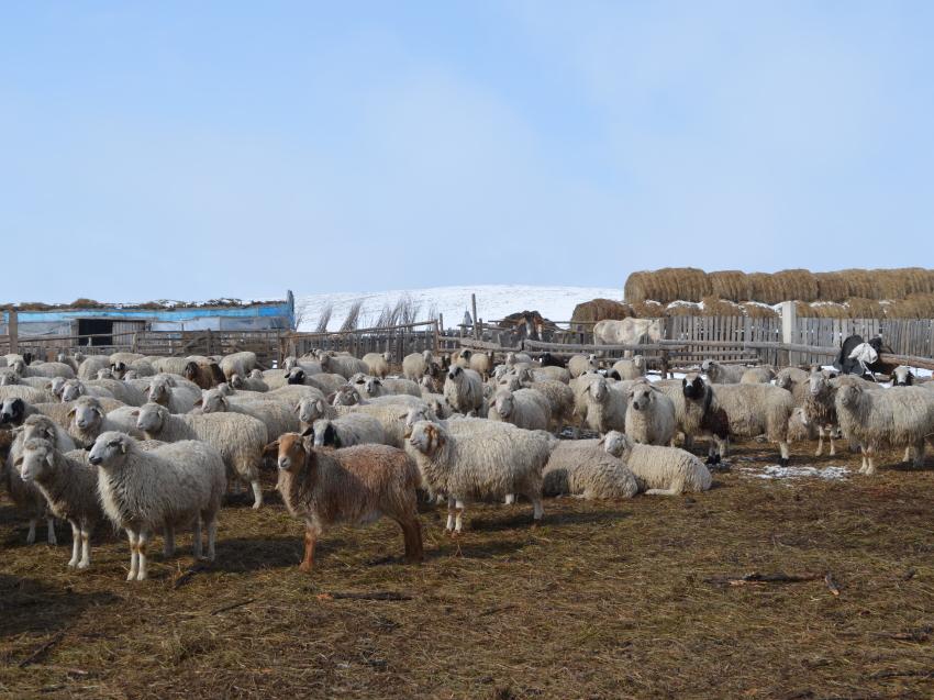 Свыше 25 миллионов рублей направят на развитие овцеводства в Забайкалье в 2021 году