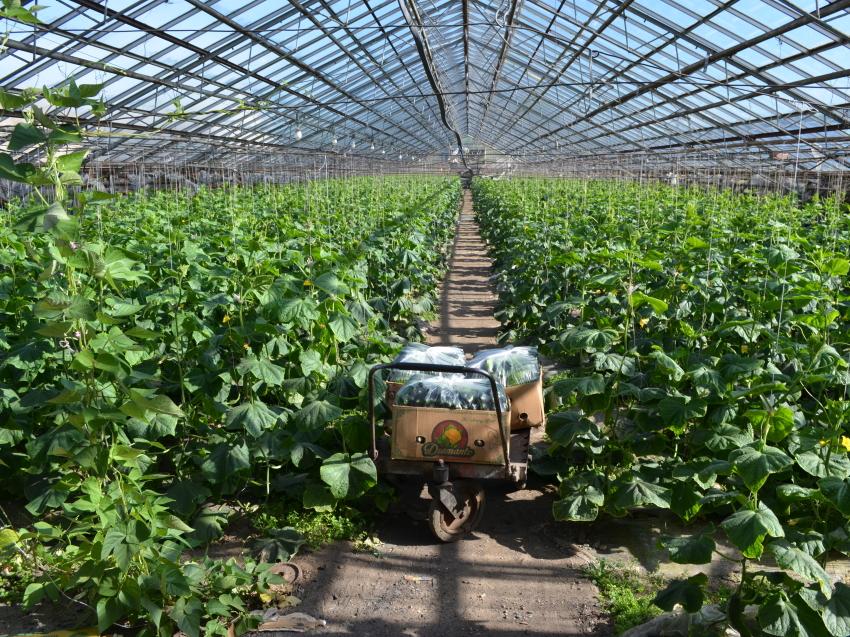 Более 360 тонн тепличных овощей произвели хозяйства Забайкалья
