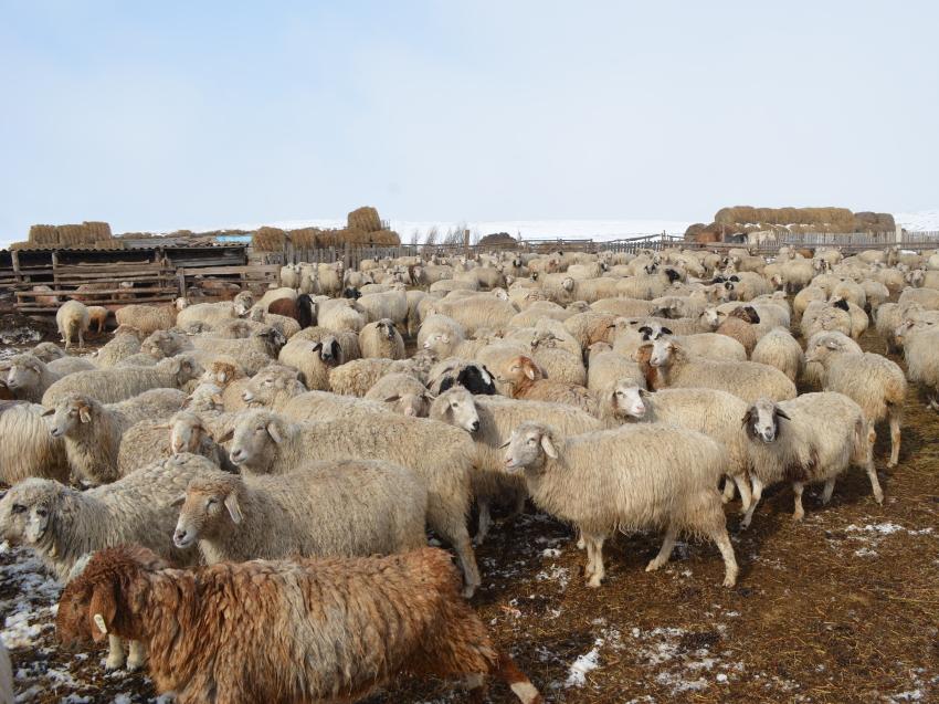Проект, направленный на увеличение поголовья овец, запустили в Забайкалье