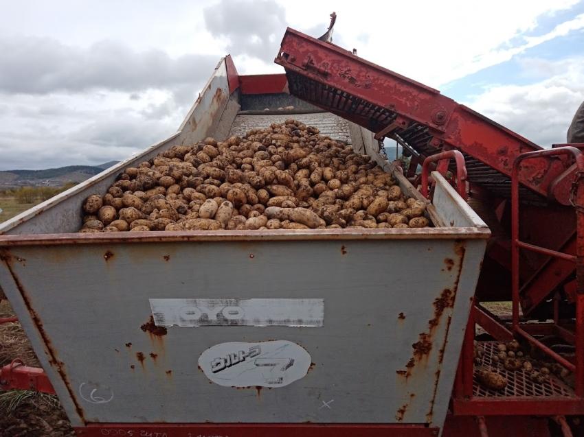 Сельхозорганизации Забайкалья накопали почти 10 тысяч тонн картофеля