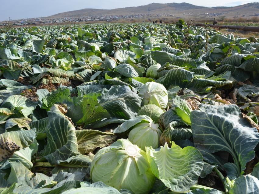 Забайкальские аграрии завершают уборку овощей