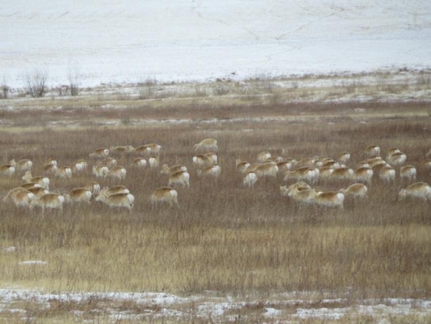 Сезонная миграция дзеренов