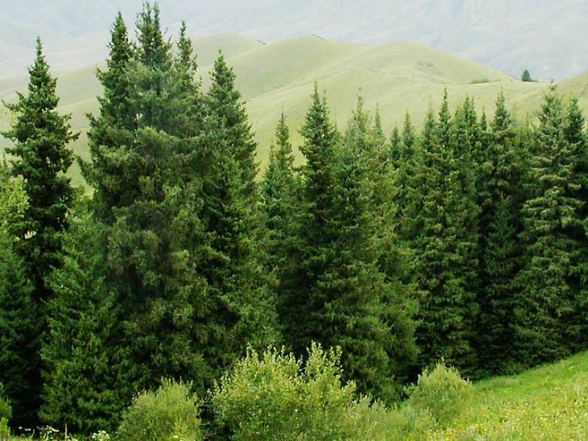Разъяснение по вопросам вырубки ёлок в лесу
