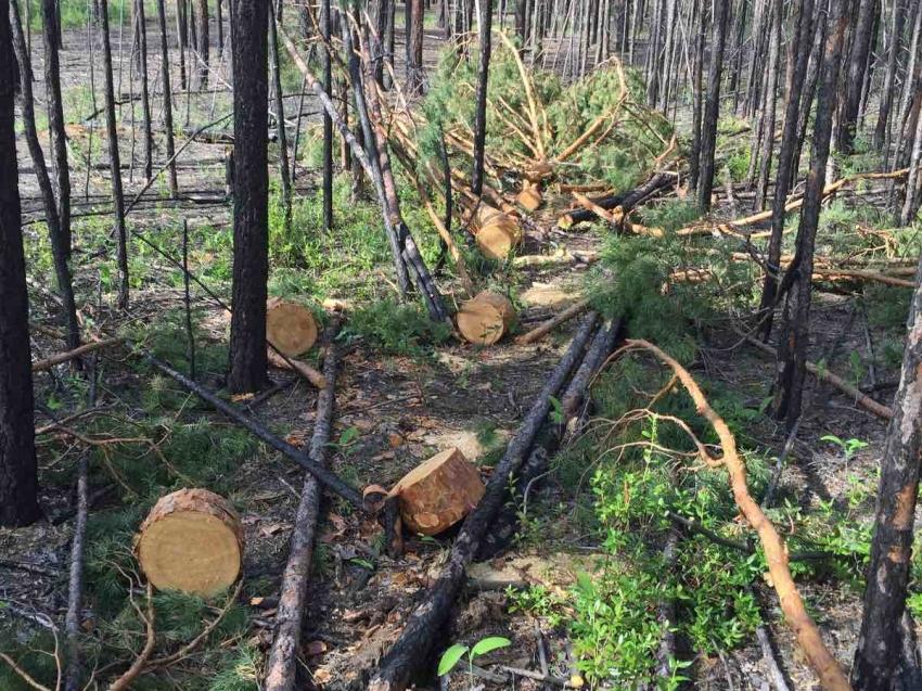 В Забайкальском крае за неделю выявлено 9 случаев незаконной рубки