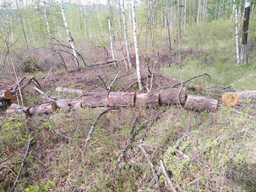 В Забайкалье за месяц выявили 64 случая незаконной рубки