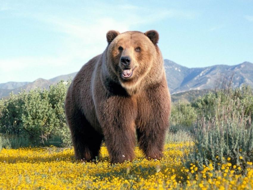 В мясе отстрелянного в Читинском районе медведя нашли трихинеллез