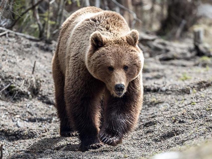 Памятка жителям Забайкальского края в связи с участившимися выходами медведей к населенным пунктам